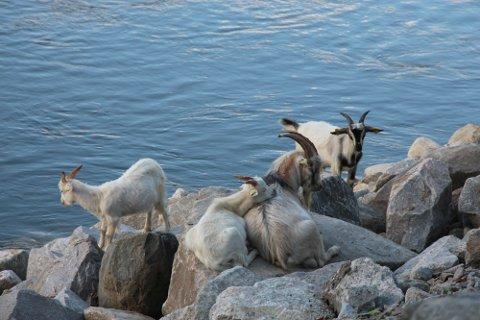 Slik ser rømlingene ut. De liker å hodle til i noe kupert terreng, med steiner ved vannet.