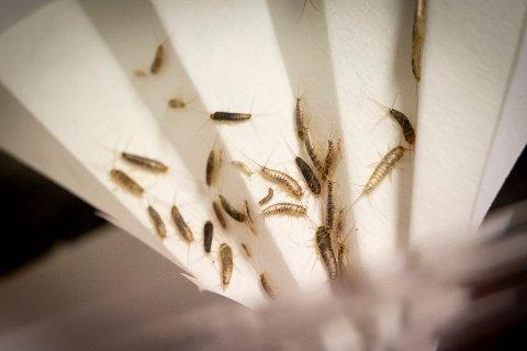 BESTANDEN ØKER: Skjeggkre kan oppleves som psykisk terror. Likevel mener skadedyreksperter at erstatningssakene til boligkjøpere, og det generelle hysteriet rundt skjeggkre, har gått for langt.