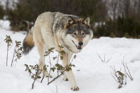Helge Riekeles mener Norge trenger flere ulv som må bestå av levedyktig bestander – og langt færre husdyr. – Innavl er påvist i skremmende grad. Norge har betenkelig få ulv, skriver Riekeles. (Foto: NTB)