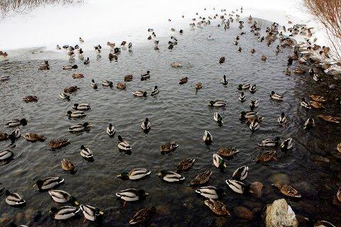 Fuglene på Østensjøvannet i Oslo er lykkelig uvitende om fugleinfluensaen som nærmer seg Norge.  Foto Håkon Mosvold Larsen / NTB .