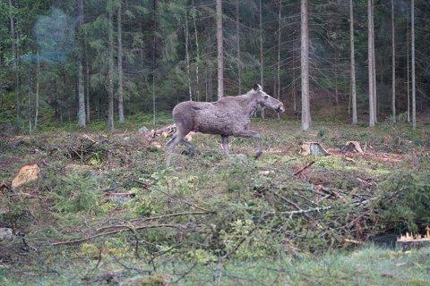 Her er elgkua på vei for å bistå kalven som gikk langs veien på Vetatoppen onsdag.