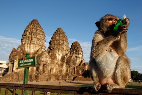 A monkey drinks in front of the Phra Prang Sam Yot temple during the annual Monkey Buffet Festival  in Lopburi province, north of Bangkok, Thailand November 27, 2016.  REUTERS/Chaiwat Subprasom