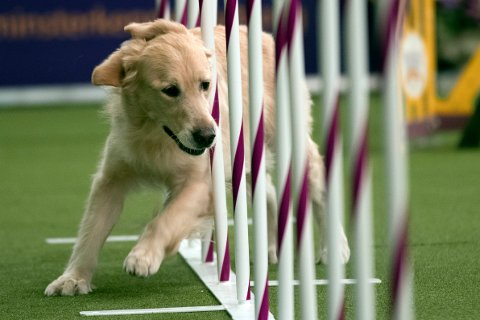 Austyn Rock, a golden retriever, competes in the Masters Agility Championship during the Westminster Kennel Club Dog Show, Saturday, Feb. 10, 2018, in New York. (AP Photo/Mary Altaffer)