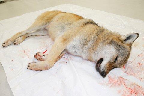 Denne godt voksne ulven på nærmere 50 kilo ble skutt i området mellom Hammarsetra og Tomsetra i Ringsaker tidligere i høst.