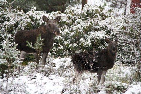 Villaelgene:Denne kua med kalv i Kirkebyåsen, går også mellom rhododendron-buskene i hagene. Nå skal denne elgfamilien skytes før julaften.