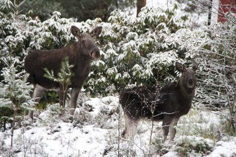 Ble for tamme. Denne elgkua og kalven hennes likte seg i hagene i det nye boligfeltet i Kirkebyåsen i Båstad. Nå er de skutt og skal bli elgstek.