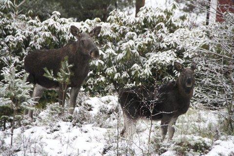 Har skapt debatt: At viltnemnda skjøt elgkua og kalven hennes, som tidvis holdt til i boligfeltet i Kirkebyåsen i Båstad, har engasjert mange i jula.arkivfoto.