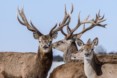 HJORTEJAKT: Nå er det åpnet for jakt på dette dyret også i Marker. ILLUSTRASJONSFOTO