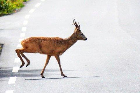Mange rådyr krysser veiene i disse tider.