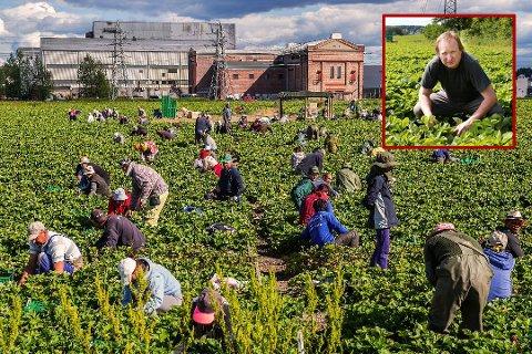 Jordbærsalget fra Hafslund-åkrene har startet. Og Per Isingrud begynner å få sesongarbeiderne på plass. Arkivfoto: Mats Duan-Hansen
