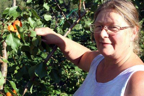 LUKKAST: Kari Sigun Lysne og ei handfull andre grøntbønder i Lærdal har igjen lukkast med å få fram gode aprikosavlingar, trass i at frukten i all hovudsak blir dyrka i varmare strok. Bilete frå ein tidlegare sommar med aprikosavling.