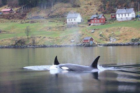 PÅ TOKT: Ein flokk spekkhoggarar tok turen inn Fjærlandsfjorden onsdag 11.  november.  Søndag er spekkhoggarar igjen observert- utanfor Feios.