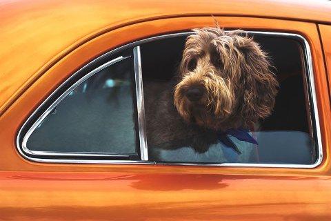 HUND: Dei fleste hundeeigarar tar meg seg hunden på køyretur, men ikkje alle er klar over at det potensielt kan vera eit brot på vegtrafikklova, om hunden ikkje er sikra.
