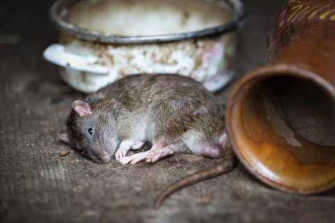 Med høsten trekker rotter og mus inn i norske hus og hytter.