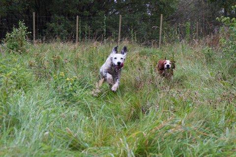 Hunder kan godt få leke med hverandre dersom de er friske, mener Mattilsynet.