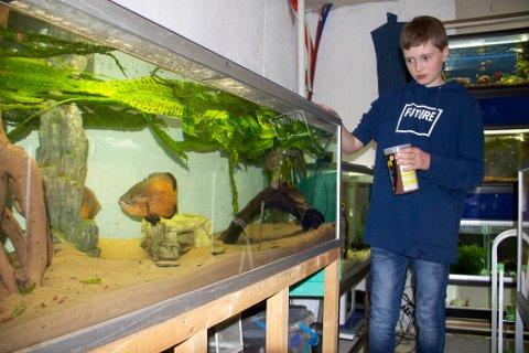 Joakim Mæland Melberg gir ciklidene av typen Oscar, som har god tumleplass i det 450 liters store akvariet, mat én gang til dagen.