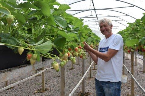 Olav Saursaunet har vært jordbærprodusent i Steinkjer kommune i mange år. Han er en av de fire produsentene som fortsatt holder på.