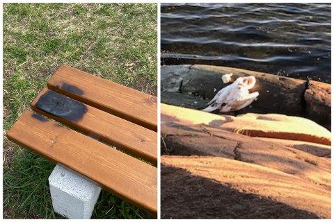 En brent benk og en død svane møtte Brita Howden på kyststien på Berger, forrige uke.