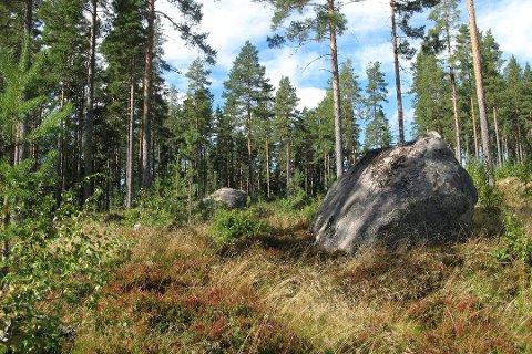 Regjeringen verner 66 skogområder i statsråd fredag. (Foto: Svein Aage Nilsen, NTB scanpix/ANB)