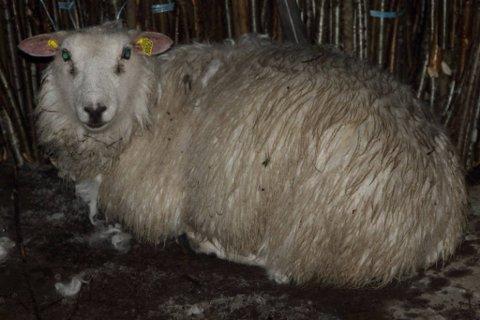 TØFFING: Denne sauen klarte seg selv et halvt år i all slags vær på fjellet.