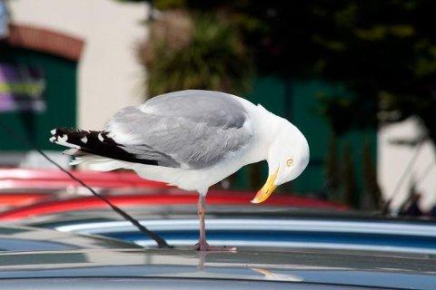 Har du rød bil er det stor sjanse for at måker og andre fugler velger akkurat din bil når den går til drittangrep, viser en undersøkelse gjort i Storbrittania. (Foto: Bilkongen AS)
