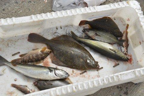 Fangst: Her er fiskene Theo fikk på kroken.