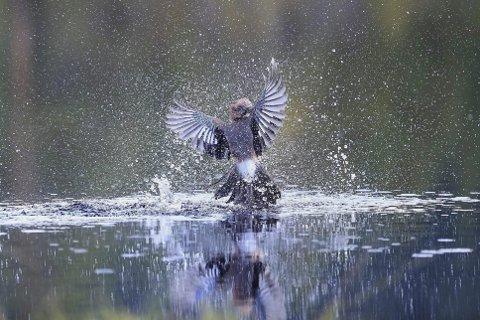 I VATNET: Denne nøtteskrikaren møtte vassflata i kampen med spurvehauken. Det klarte Erik Hagen å fange i linsa frå fotoskjulet like ved. FOTO: ERIK HAGEN