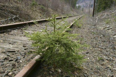 Hva skjer? Vil denne granbusken få vokse i fred på Tinnosbanen, eller vil togene være tilbake på Tinnosbanen i årene som kommer.