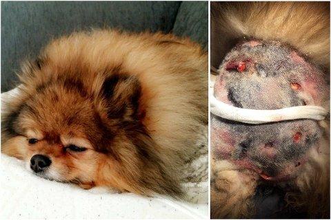 Overlevde: Nala (7) er en pomeranian og veier kun 3,5 kilo. Hunden overlevde møtet med ulven i mai i år. Alle foto: Privat