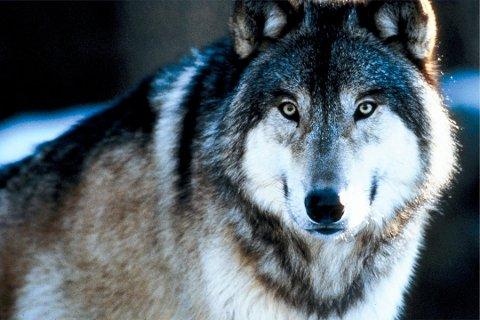 OBSERVASJONER: Flere hyttefolk mener å ha sett ulv både denne helga og forrige helg i Tuddal.