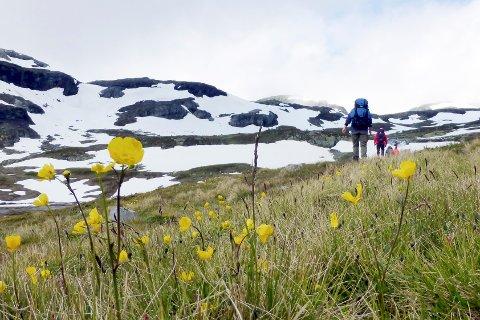 HARDANGERVIDDA  20120722. Fotturister blant blomster og snø på turstien mellom Hellevassbu og  Middalsbu og på Hardangervidda.  Foto: Paul Kleiven / NTB scanpix