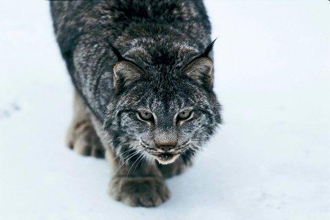 LEVER FARLIG: Gaupejakta er i full gang i Telemark. Så langt er åtte dyr felt på to uker.