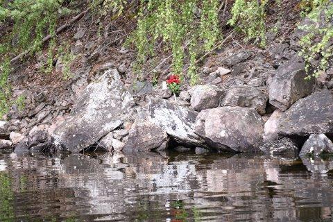 MINNESTED: Tre lykter og et dusin røde roser preget stedet der båten krasjet natt til lørdag 11. august.