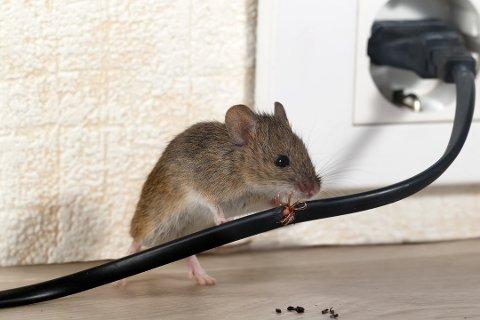PASS OPP: Nå er bestanden av mus økt betraktelig. De kan potensielt gjøre enorm skade på hus og hjem.