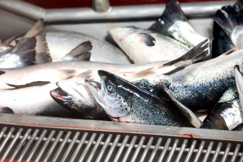 «Økologisk laks mer giftig enn ikke-organisk». «Organisk laks mer forurenset enn vi tror». Dette skriver franske aviser og blader om norsk fisk.