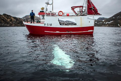 Dette er ikke en spion, hevder russisk militærekspert om hvalen som ble funnet utenfor kysten av Norge i forrige uke.