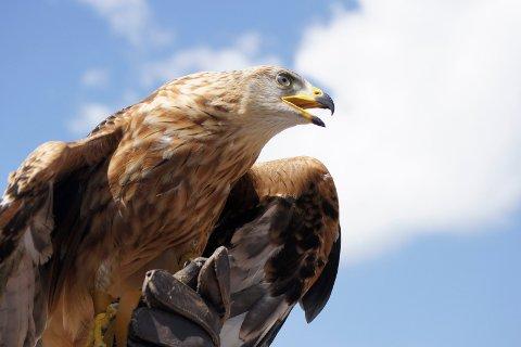 I fjor slet kongeørna i Aure-traktene og fikk bare én flygedyktig unge på vingene. Bedre gikk det derimot i Åmotsdalen der bestanden økte med seks individer. Foto: Pixabay