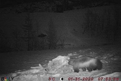 Dette bildet som er lagt ut på nettsidene til Norges Jeger- og Fiskerforbund i Møre og Romsdal, viser en jerv på åteplassen ved Gråsjøen i Surnadal så sent som sist fredag.