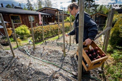 VINGÅRD: Midt i et villaområde i Oslo dyrker Hans-Christian Holdt vindruer. Mer herdige sorter og mildere klima har gjort det mulig å dyrke druer over store deler av Norge.