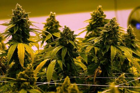 Høyesterett i Mexico har vedtatt at marihuana skal avkriminaliseres, og at det skal åpnes for at folk kan dyrke planter til eget bruk.
