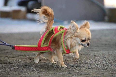 Chihuahuaen Fersken skal også være med på Weight pull arrangementet i helgen.
