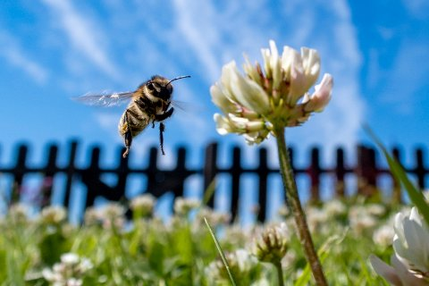 Slattum 20210624.  Bie i svevet ved en hvitkløver. Foto: Paul Kleiven / NTB