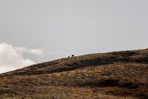 To moskuser på Dovrefjell. Illustrasjonsfoto: Stian Lysberg Solum / NTB
