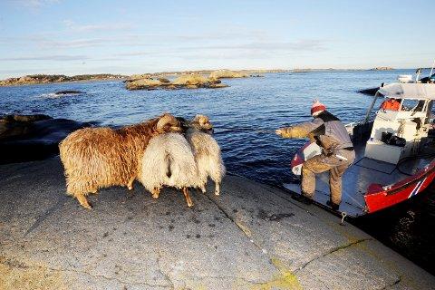 SAUESANKING: Her er et bildet av sauesanking på Kløvningen. Der et er Erik Asmyr og Terje Bjerga i Færder Får som eier sauene.