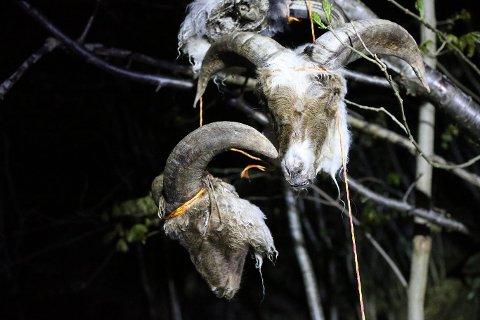 TIL TØRK: Det var to gutter som fant 12 sauehoder som ble hengt opp med tau i skogen ved Torås fort på Tjøme. Eierne som driver med Gammelnorsk spælsau forteller at de hang der til tørk.