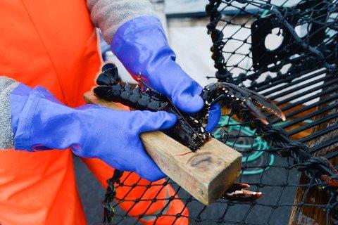 MINSTEMÅL: Fra 1. oktober kan du fange hummer som er mellom 25 og 32 centimeter. Er den større eller mindre, skal den slippes ut igjen i sjøen. Illustrasjonsfoto: Atle Møller