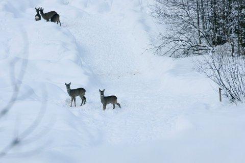 PASS PÅ: Vinter, snø, rådyr og løshunder er en dårlig kombinasjon. – Pass på hundene, er oppfordringen fra Tønsberg kommune.