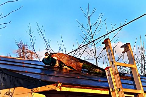 Mannskaper fra Kopstad brannstasjon tok i 19-tiden ned en påfugl fra et tak i Holmestrand.