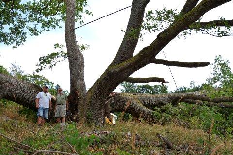 GIGANT: Her står grunneier Raymond Kjølner (til venstre) og Harald Gerner ved treet. På bildet ser man også de to jernstengene som er brukt for å sikre treet.