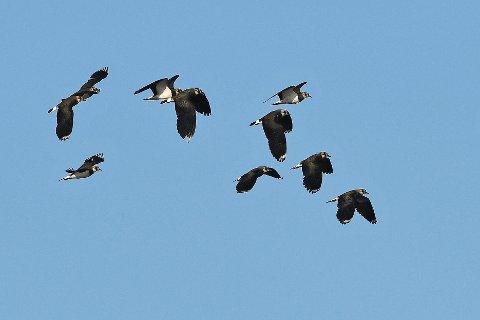 Fugler på trekk: Vipa er under sterkt press. Bestanden til den lille fuglen som særlig trives i kulturlandskap og jordbruksområder er i sterk tilbakegang.